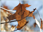 Click here to view a larger image of Fall Oak Leaf
