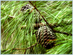 Click here to view a larger image of Pine Cones