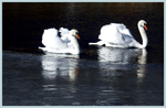 Click here to view a larger image of Winter Swans